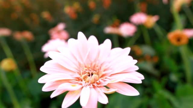 Schöne rosa Gerbera Blume im Garten.