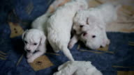 Beautiful playful pupiess