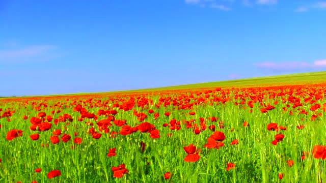 Wunderschöne Mohn Feld