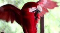 Schöne rot-Ara