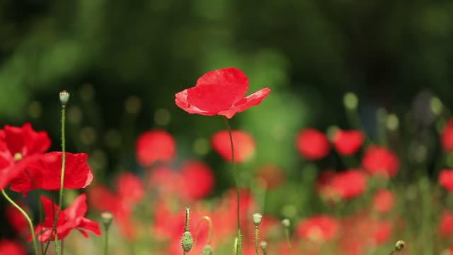 HD: Schöne Rote Poppies