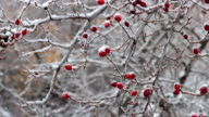 Beautiful red rose hip with frost in winter