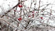 Beautiful red rose hip with frost in winter.HD video