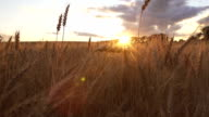 Beautiful scene moving through wheat field at golden hour