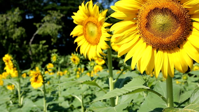 beautiful sunflower blooming in garden