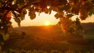 T/L Beautiful sunrise over the vineyard