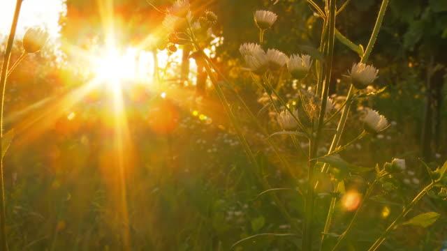 HD DOLLY: Wunderschönen Sonnenuntergang auf Wiese Blumen
