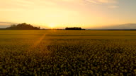HD HELI: Beautiful Sunset Over The Canola Field