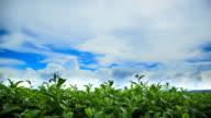 Beautiful tea plantation.