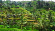 Beautiful Tegalalang Rice Terrace with pal trees during travel vacations in Bali.