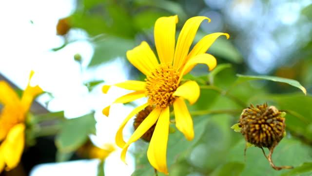 Schöner Baum Ringelblumen, Maxican Sonnenblume