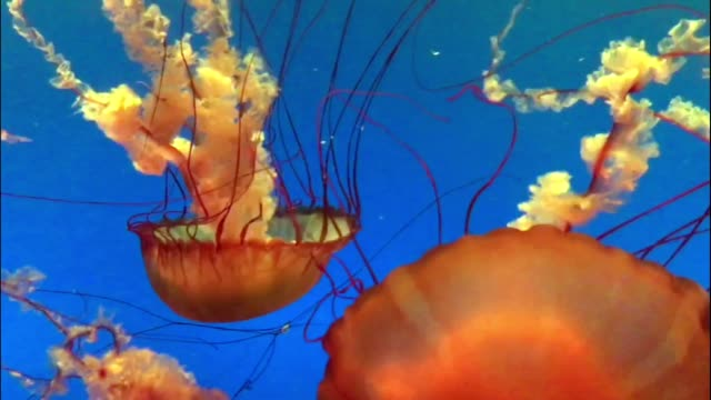 Beautiful vibrant colored jellyfish floating in water