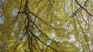 Beautiful Yellow ginkgo leaves dolly shot