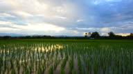 beautiful young rice at Amphoe Pua ,Nan.