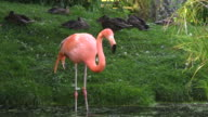 Beauty in nature, pink flamingo bird in a pond during Summer season