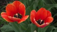 Beauty in Nature: Tulips flowers in urban garden