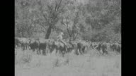 WS beauty shot ranchers on horses approach cattle resting under shade trees / horsemen with dog / boy on horseback / VS ranchers round up cattle with...