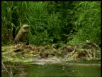 MS beaver swimming to bank, climbing out with large clump of vegetation and disappearing in undergrowth, Arctic circle