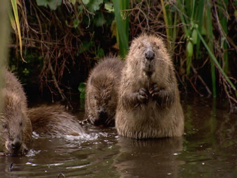 Beaver x 4, cleaning, playing, security, protection, fun, enjoyment. Southport, England, UK