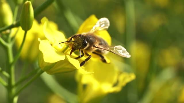 Bee and rape