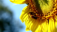 Bee and sunflower pollen