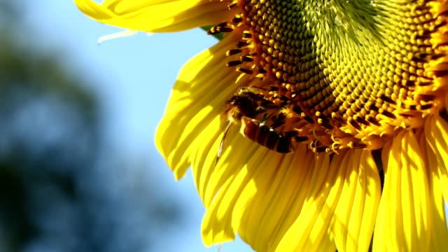 Bee and sunflower pollen
