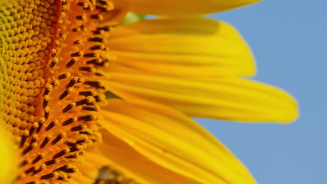 Bee are flying and feeding on sunflower.