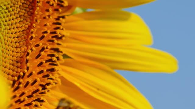 Biet flyger och livnär sig på sunflower.