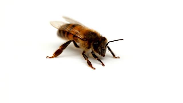 Bee close-up 02