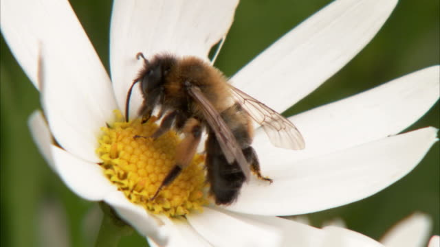 A bee collects pollen on a daisy before flying away. Available in HD.