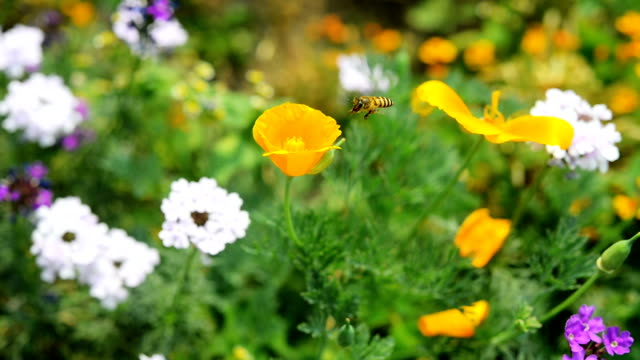 HD: Eine Biene sammelt Pollen auf einer Blume
