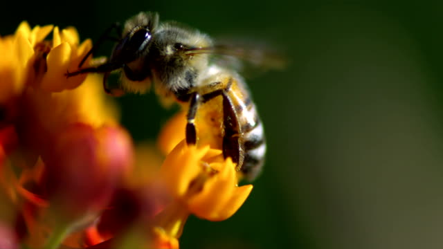 A bee feeds on nectar while crawling along yellow flower blooms. Available in HD.