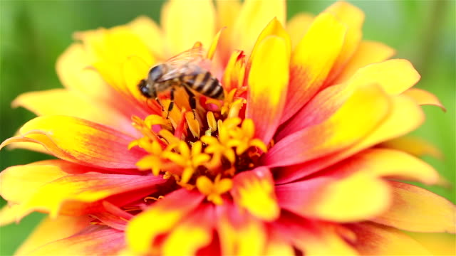 HD: Bee find nectar in flowers.