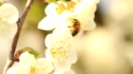 Bee fly on cherry blossoms