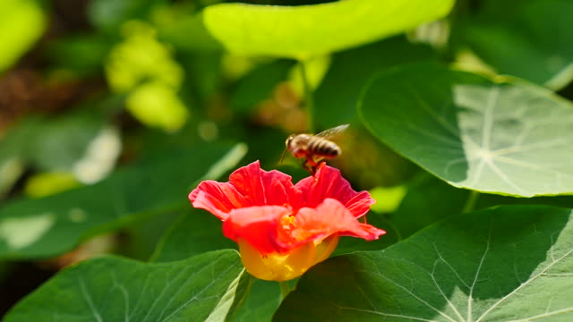 Bee flying into on flower and feeding