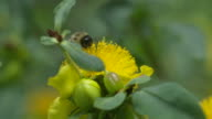 Bee foraging and taking off from Hypericum flower