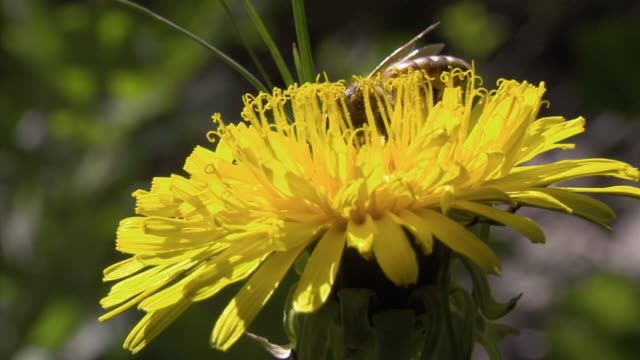 CU Bee foraging for pollen on yellow flower/ USA