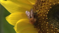 A bee gathers nectar from a sunflower.