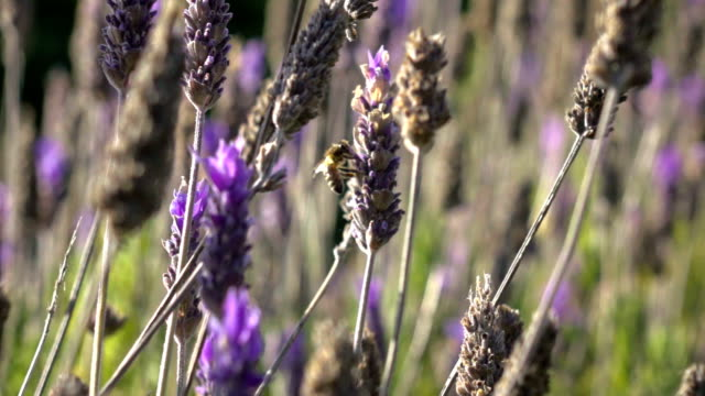 Bee in lavender slow motion