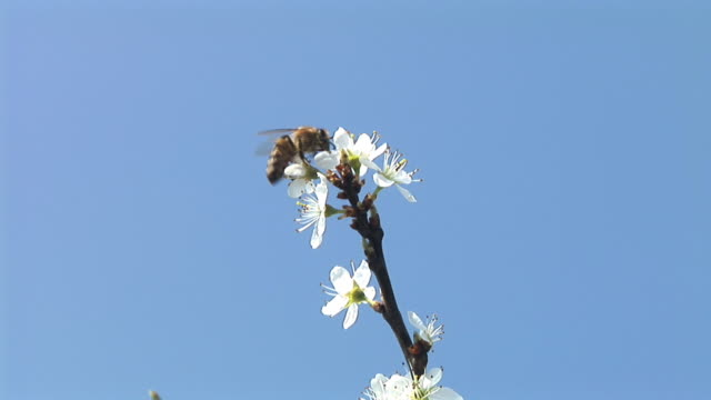 HD: Bee on a blossom
