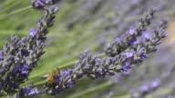 Bee on flowering lavender