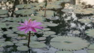 Bee on pink lotus in morning.