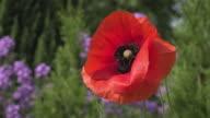 Bee on red Poppy flower in garden