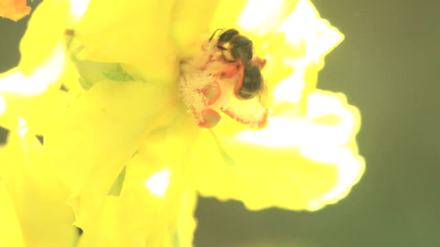 Bee on Yellow Flower Part II