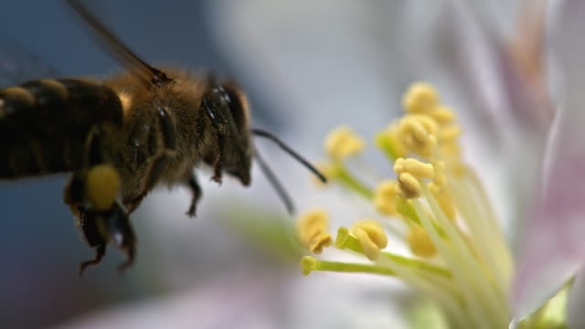 SLO MO bee picking up pollen from flowers stamen