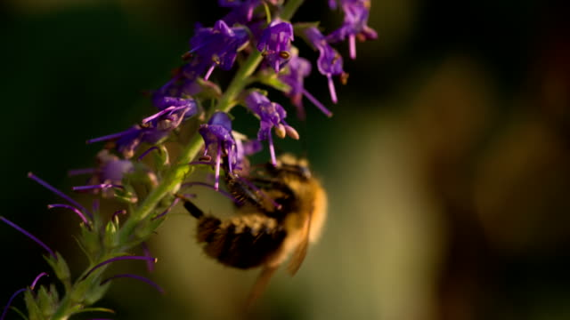 SLOW MOTION : Bee pollinating flower
