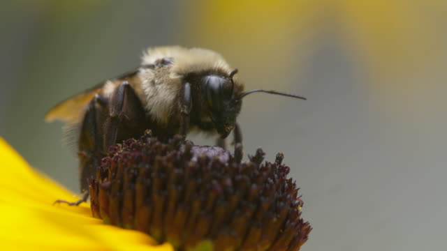 Bee pollinating on black-eyed susan