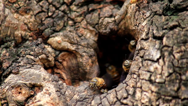 Bee working in hollow of tree