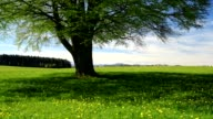 Beech tree with meadow in spring, Allgau, Bavaria, Germany