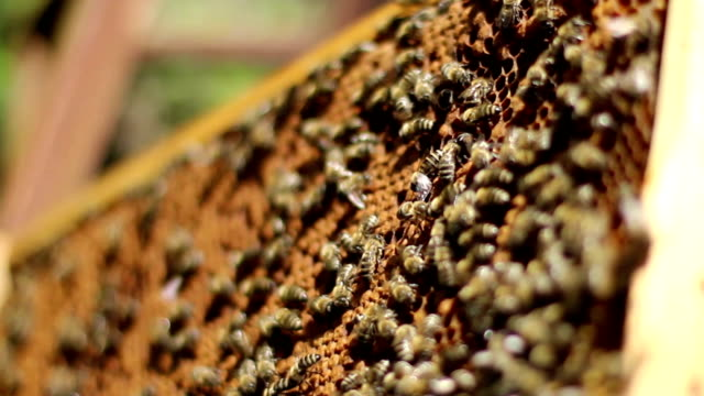 Bees and Honey in the Hive